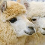 Alpacas and the goats of cashmere