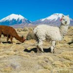 Are alpacas and llamas the same?